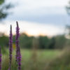 Spears of purple flowers in front of meadow and trees with the sun setting behind them.