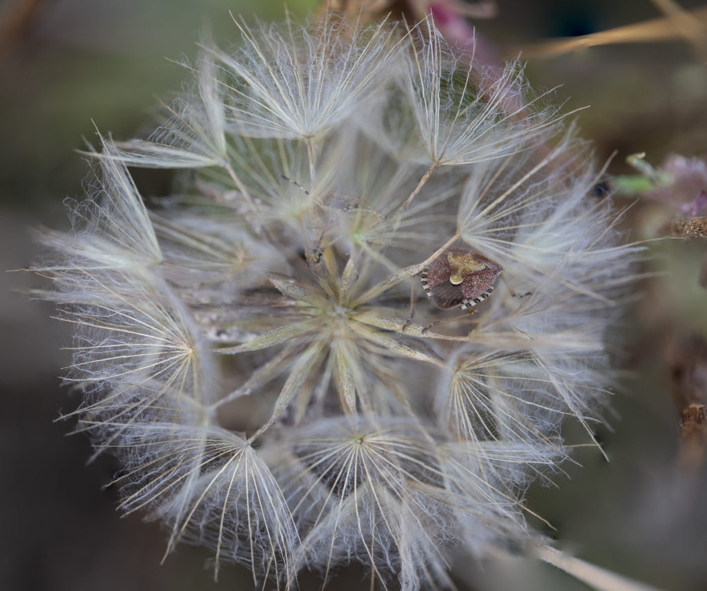 Ornate purple insects inside a fluffy seed-head.
