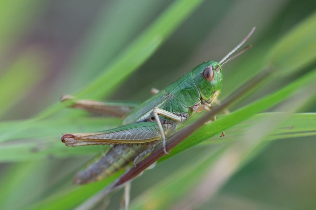 A green insect with large jumping legs resting on grass.