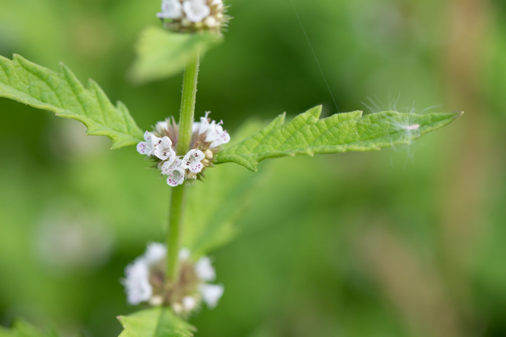 Tiny white flowers arranged around a stalk with green leaves.
