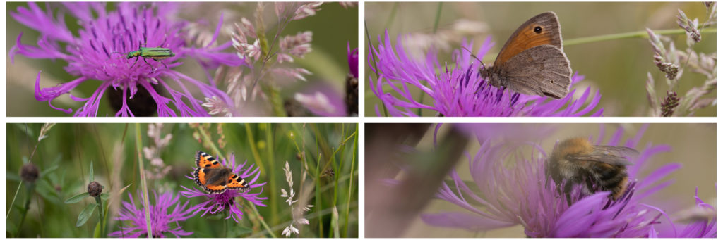 Collage of insects feeding on purple knapweed flowers.