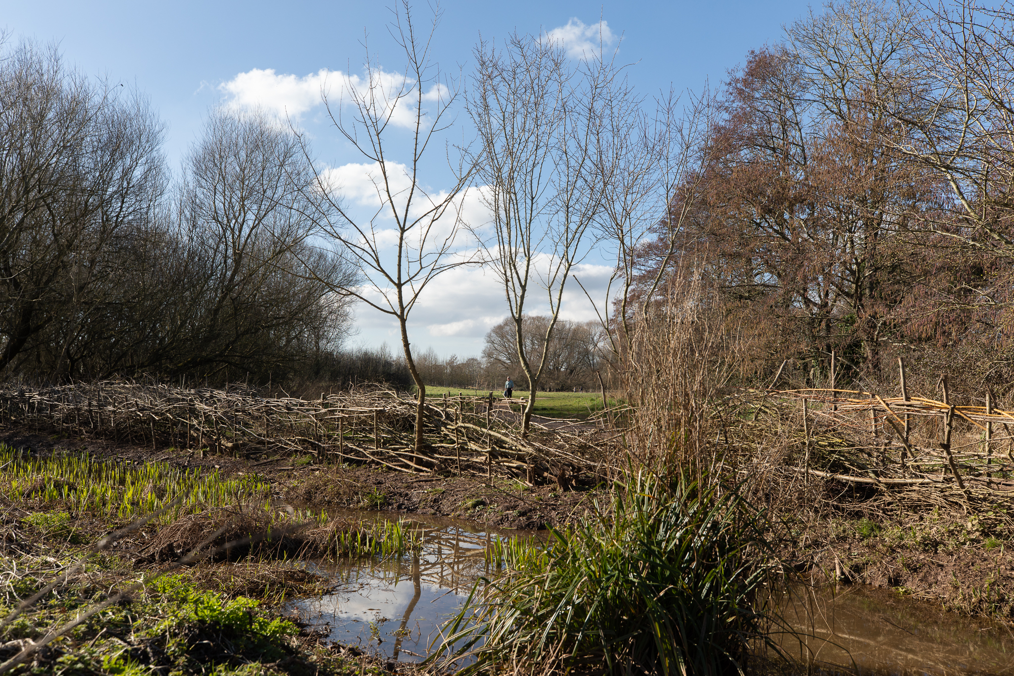 Laid hedge after nine years of growth, some standing trees, water filled ditch in the foreground.